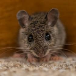 mouse found in a souderton home
