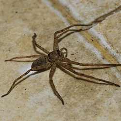 house spider on floor