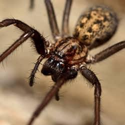 a large brow recuse spider crawling along a new cast property