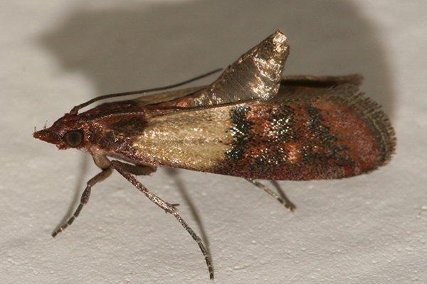 an Indian meal moth in a kitchen pantry
