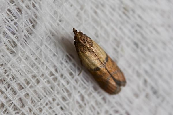 indian meal moth on cloth