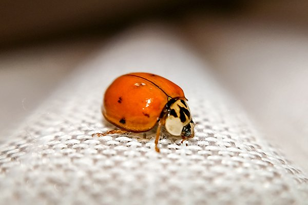a lady bug crawling on a surface inside of a home in souderton pennsylvania