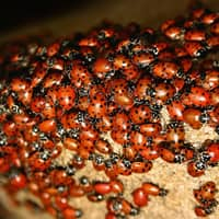 ladybugs in a souderton home