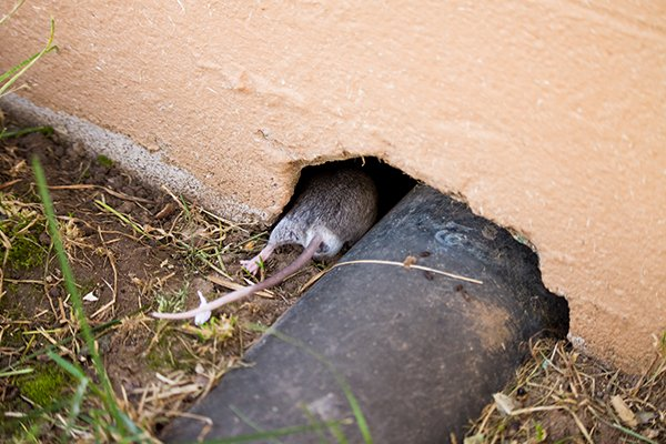 a mouse scurrying into a home in souderton pennsylvania though a hole in the wall