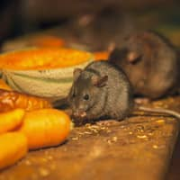 mice eating food on kitchen counter
