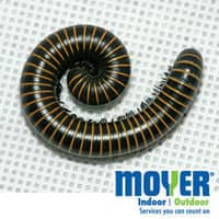 Millipedes In PA Homes