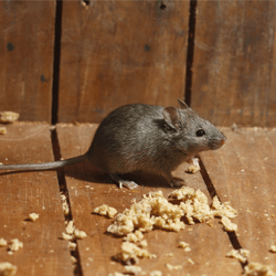mouse in pennsylvania home
