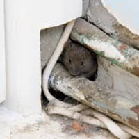 mouse inside the wall of a westchester home