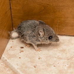 mouse in corner of kitchen
