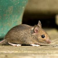 house mouse crawling on table