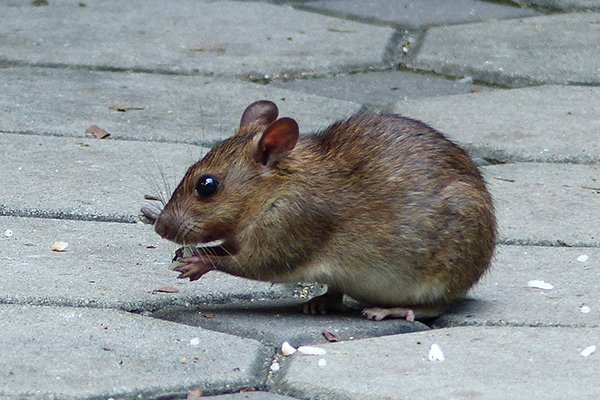 a rat on the ground outside of a home in new castle delaware