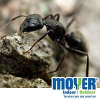 foraging carpenter ant in souderton pa