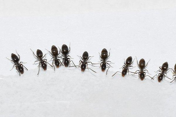 odorous house ants crawling next to each other on a floor