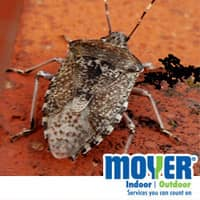 Stink Bug In Allentown, PA