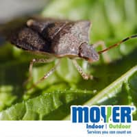 brown marmorated stink bug in allentown pa