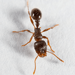 pavement ant up close