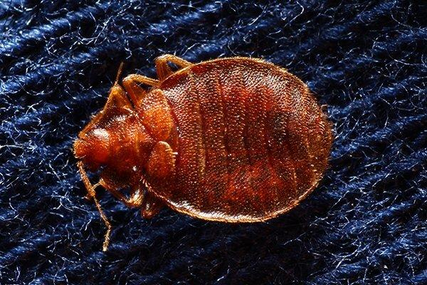 bed bug on blue sheets