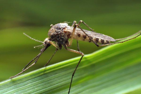 mosquito standing on a leaf