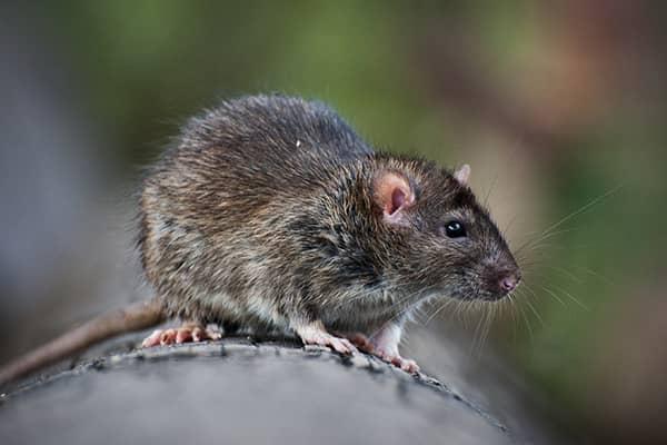 a rat outside