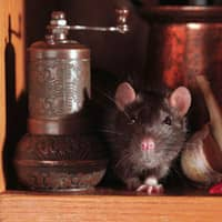 rat found in a souderton home