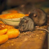 mice looking for food source