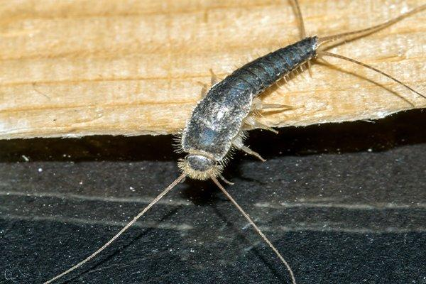 up close image of a silverfish crawling in a bathroom