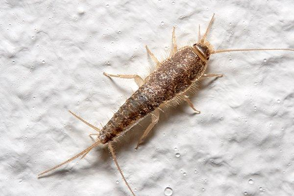 a silverfish on a bathroom wall