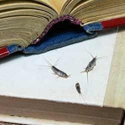 silverfish eating a book
