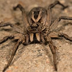 a hairy brown recluse spider crawling along a stone surface on a souderton property