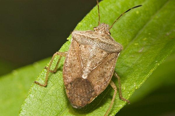an up close image of a stink bug on a green leaf