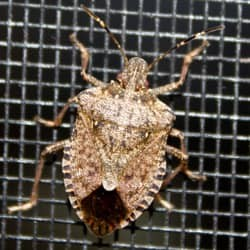 stink bug climbing window screen