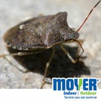 stink bug found in pennslvania