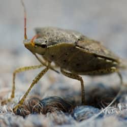 stink bug crawling on carpet