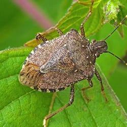 a stink bug on a vibrant green leaf of a house plant inside a souderton pennsylvania home