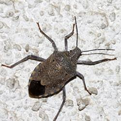stink bug in westchester home