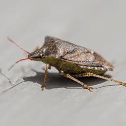 stink bug crawling on deck