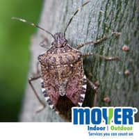 Stink Bugs In Pennsylvania Are Back