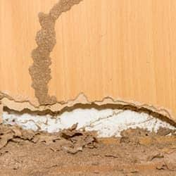 termite mud tube on wall