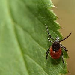 a red and black tick climbing up a vibrant green leaf in a souderton pennsylvania yard