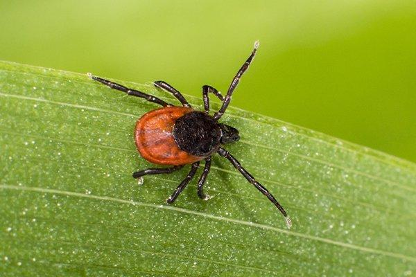 Tick on the grass in a yard
