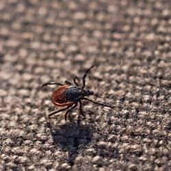 a small deer tick crawlog along the lining of patio furniture in a new castle yard