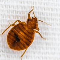 image of a bed bug up close