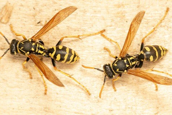 wasps infestation on wood trim in new castle home