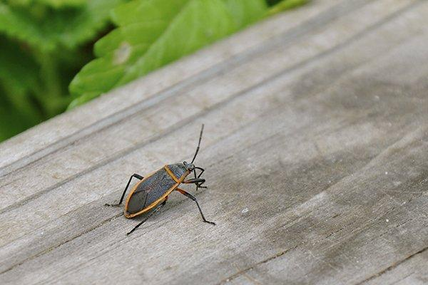 a box elder bug crawling on a wooden structure outside of a home in west chester pennsylvania