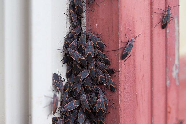 box elderbugs on window seal