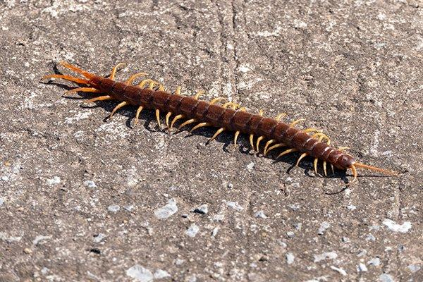 a centipede crawling in the dirt outside of a home in souderton pennsylvania