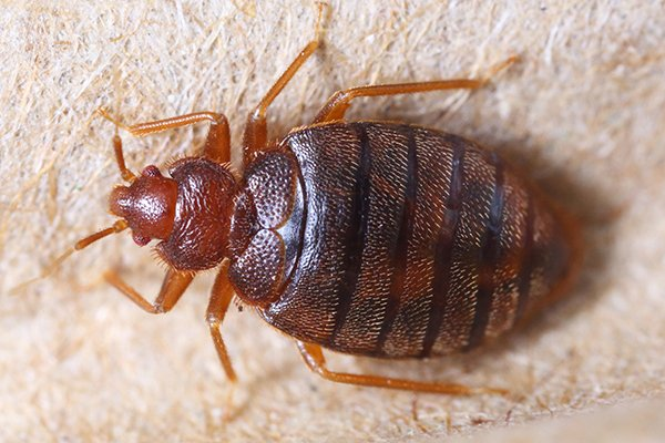 a bed bug crawling on a bed inside of a home in pennsylvania