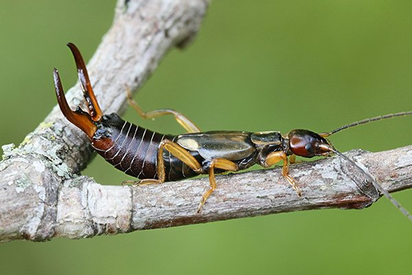 an earwig on a branch outside of a home in pennsylvania