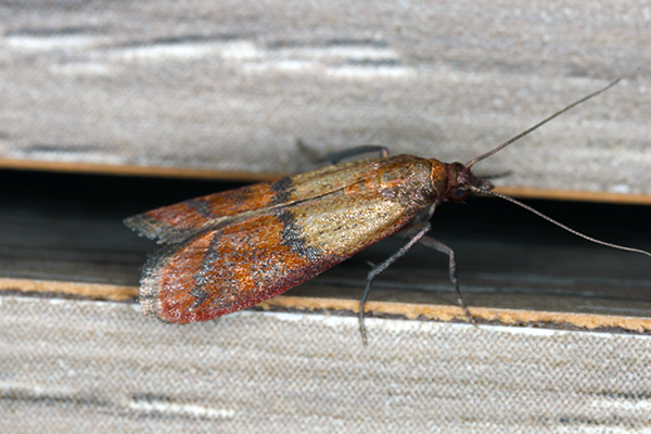 an indian meal moth on an interior wall inside of a home in souderton pennsylvania
