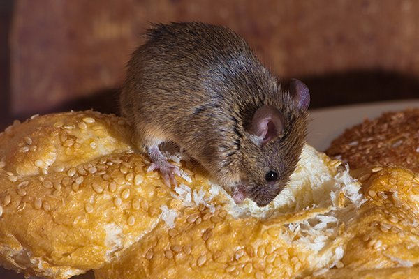 a rat eating a loaf of bread inside of a home in west chester pennsylvania